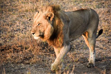 land mammal: malee lion stalking Stock Photo