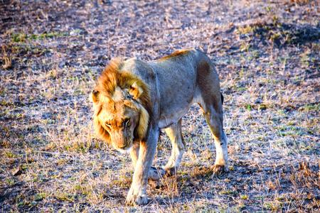 male lion: male lion walking