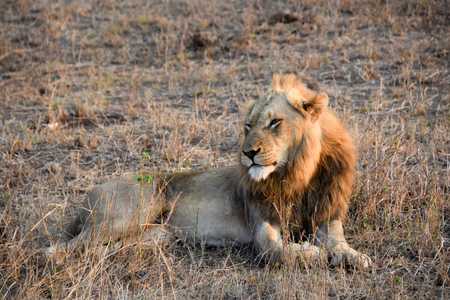 male lion: male lion sitting in the wild watch intently