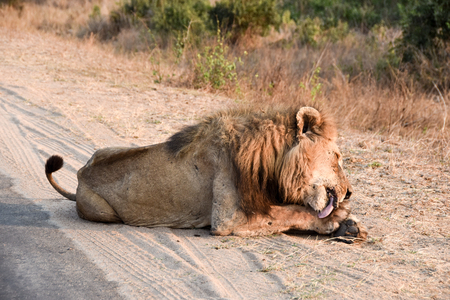 male lion: male lion licking his paws with neck dropping towards left Stock Photo