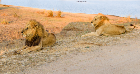 scavenger: two maqle lions sitting close to watering hole in afternoon sun