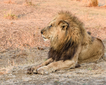 land mammal: Male lions relaxing with paws stretched out