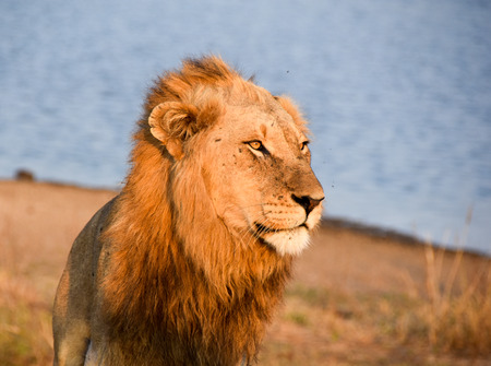 male lion: Portrait of a male lion with golden Mane close to watering hole
