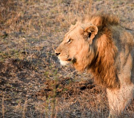 keystone: Male lion portrait