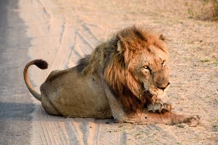 land mammal: Lion lion enjoying a rest in afternoon sun