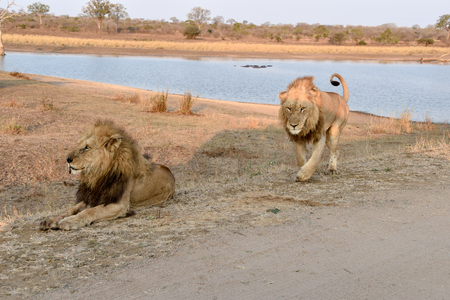 scavenger: Male lion walking upo from a waterhole towards sitting male lion Stock Photo