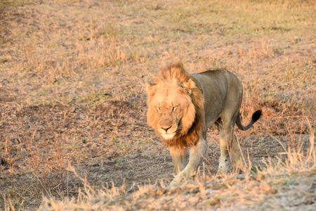 land mammal: Male lion walking into the late afternoon sun