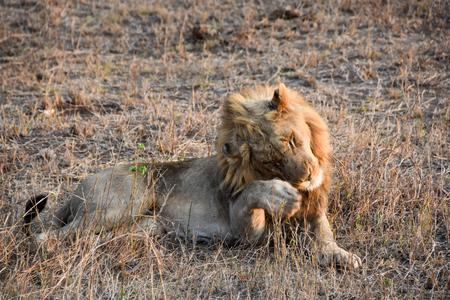 land mammal: Male Lion enjoying a relaxing m,omet paw raised