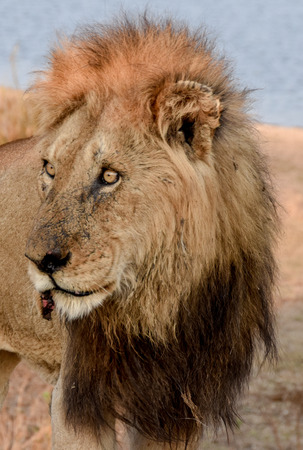 keystone: Portrait of a male lion with an injured  lip