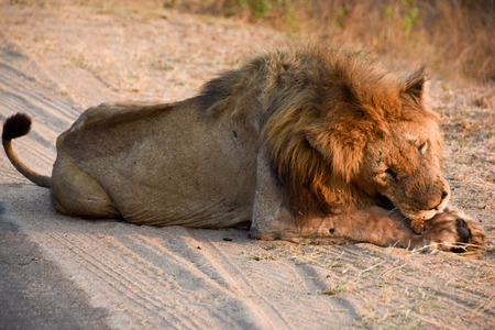 male lion: Male lion licking his paw Stock Photo