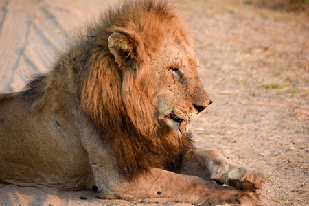 land mammal: lion looking into the afternoon sun with eyes strained