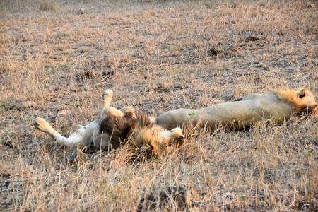 keystone: Two male lions sleeping in the wild realxing