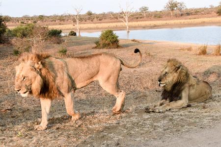 land mammal: Male Lion walking away from a sitting Male lion