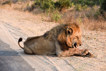 male lion: male lion enjoying after scratch Stock Photo
