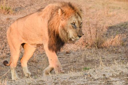 male lion: Male lion walking up a hill