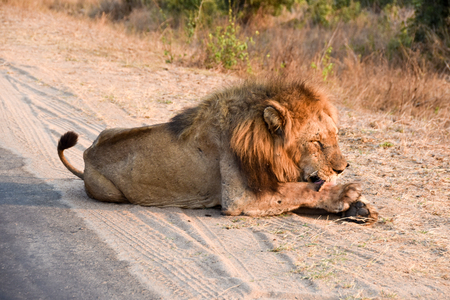 land mammal: male lion lazing in afternoon sun licking paws