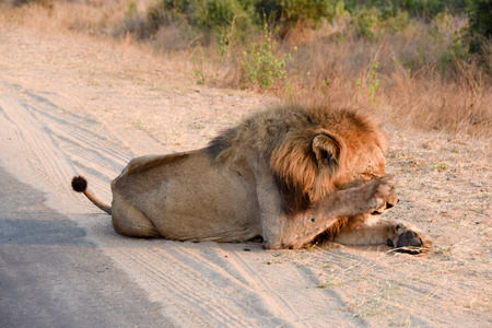 keystone: Male Lion Scratching his mane