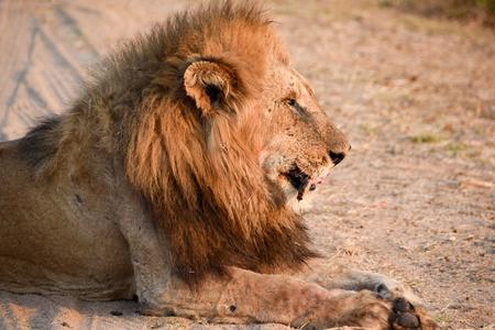 male lion: Portrait of a Male Lion sitting alonside a road Stock Photo