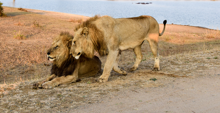 land mammal: Two male lions close to a waterhole in afternoon sun