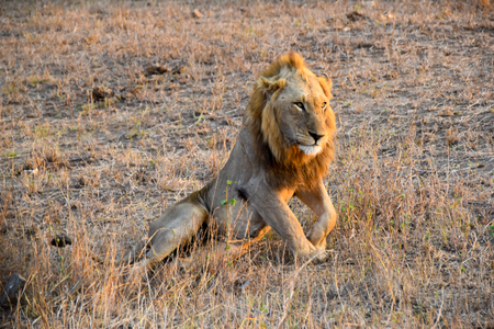 land mammal: Lion relaxing in the wild on a sunny afternoon