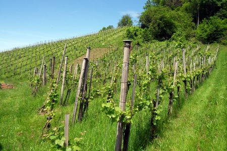Stunning Vineyard on Swiss Hillside Stock Photo - 5411021