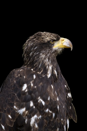 profil: Sea eagle portrait on black bacground