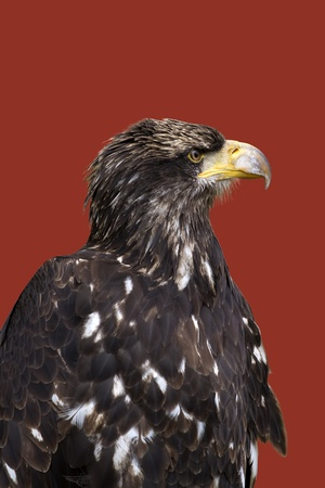 profil: Sea eagle portrait on dark red background