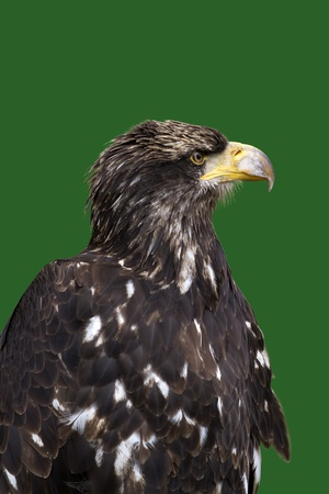 ly: Sea eagle portrait on green  background