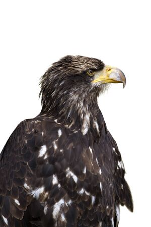 profil: Sea eagle portrait on white background Stock Photo