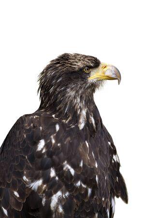 ly: Sea eagle portrait on white background Stock Photo