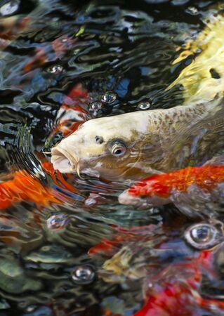 feeding koi fish in the garden Stock Photo - 10302283