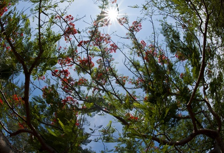 Under beautiful red flower tree in sunny day photo