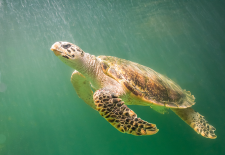 green sea: Marine turtle under the deep green sea Stock Photo