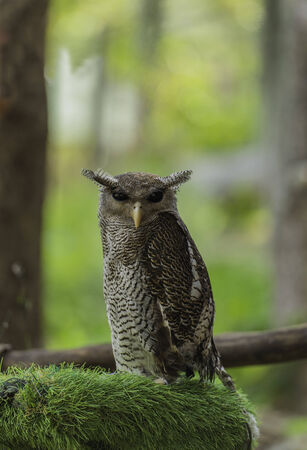 Brown owl on the fake green grass Stock Photo