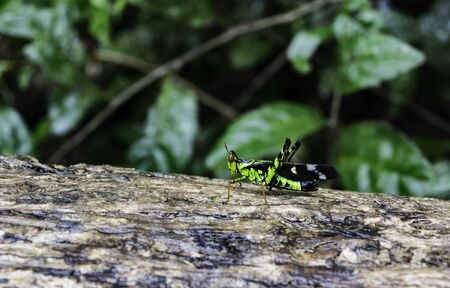 grasshoppers: Monkey Grasshoppers on the tree in the forest Stock Photo