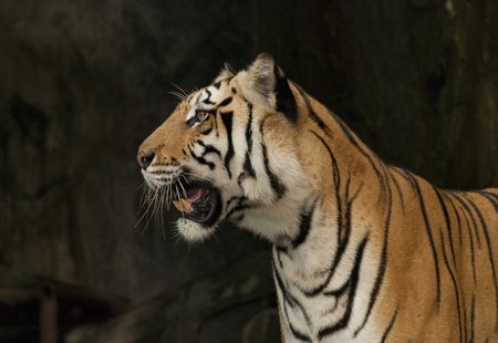 Bengal tiger face isolated from black background
