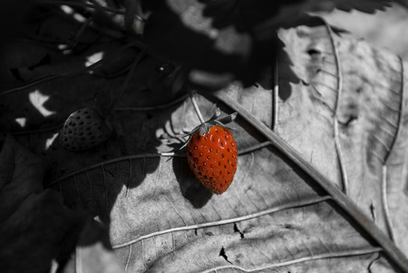 Red straberry in black and white background Stock Photo