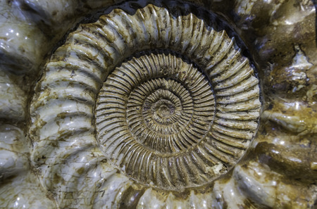 Beautiful crustacean fossil