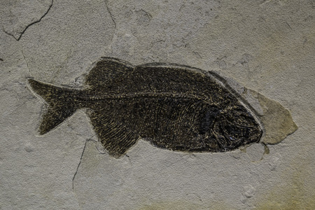 Fossil fish Stock Photo