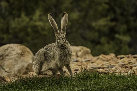 Jackrabbit look and ready to run away Stock Photo