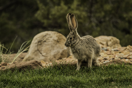 Jackrabbit walk on green grass