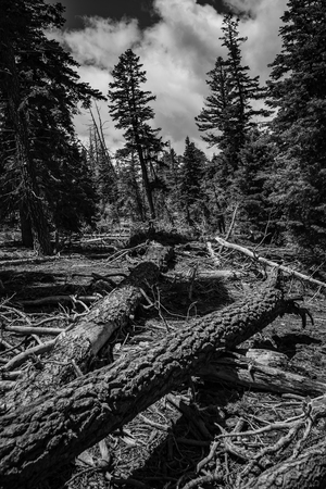 Dead pine tree in black and white Stock Photo