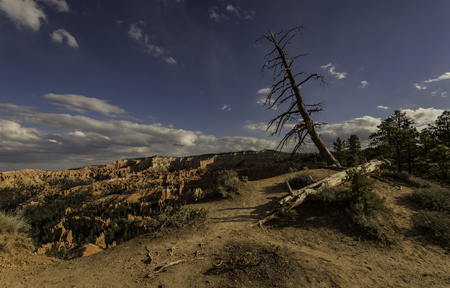 Dead pine trees on Bryce Canyon