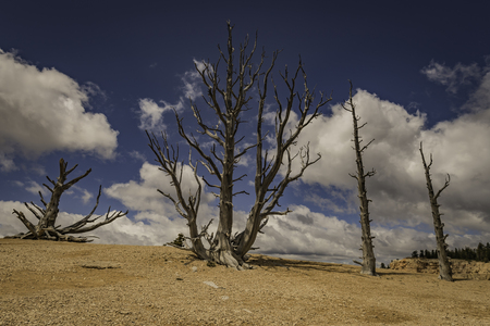 arboles secos: Árboles muertos en Bryce Canyon Foto de archivo
