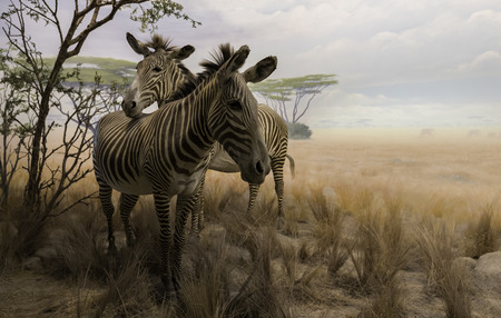 Two zebras in dry field
