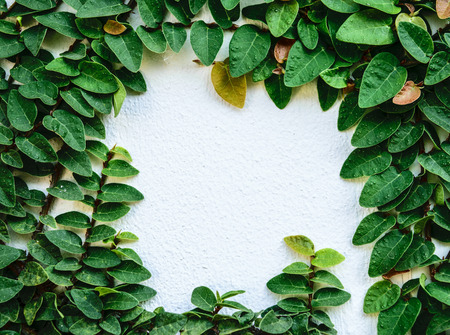 creeping fig on the wall like a picture frame Stock Photo