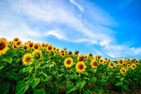 campo de flores: Girasol presentada el crecimiento en la colina en Mon Jam, Mae Rim Provincia, Chiang Mai, Tailandia