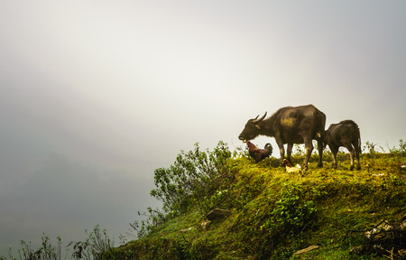 water buffalo: Picture of livestock animal (water buffalo, chicken) on the rice terrace in Cat cat village, sapa, vietnam