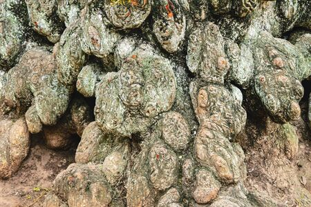 gnarled: Beautiful gnarled, knotted bark of old tree for background