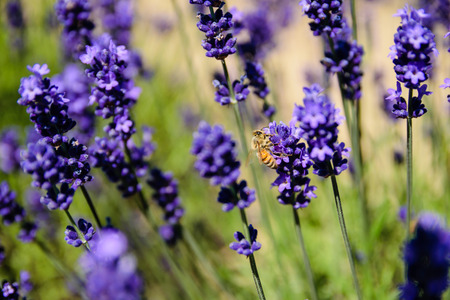 nectar: Bee gathering nectar from lavender